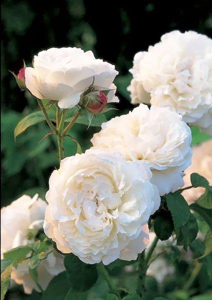 Winchester Cathedral est un rosier anglais offrant une profusion de fleurs blanches déployées avec élégance à intervalles réguliers tout au long de l'été. Ce rosier est une mutation du rosier Mary Rose dont il possède toutes les qualités et auquel il ressemble en tout point, à part sa couleur blanche. Parfum doux de rose ancienne avec une pointe de miel et de fleur d'amandier.1,2m x 1,2m. David Austin, 1988.