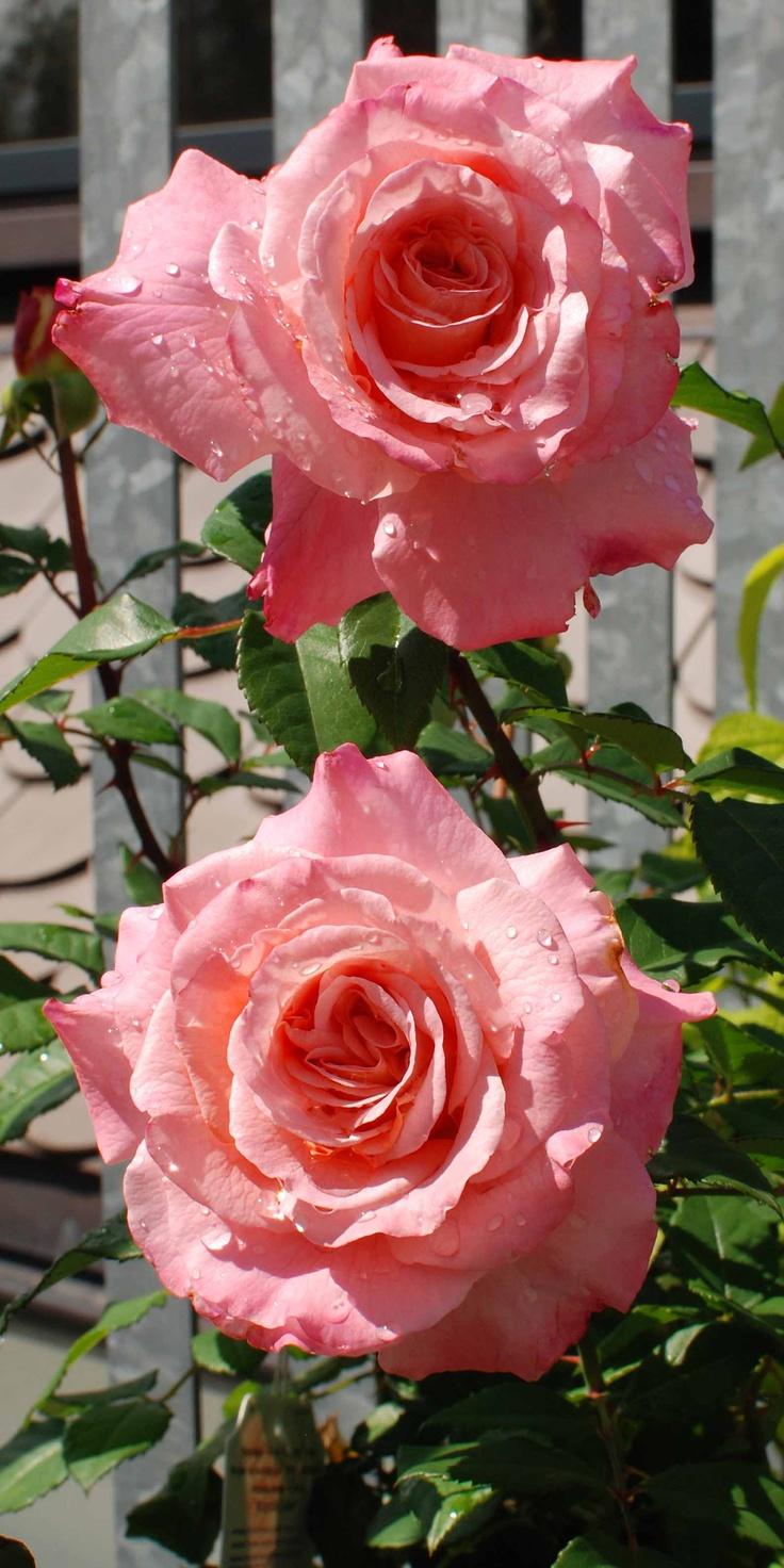 Rosa 'Augusta Luise'