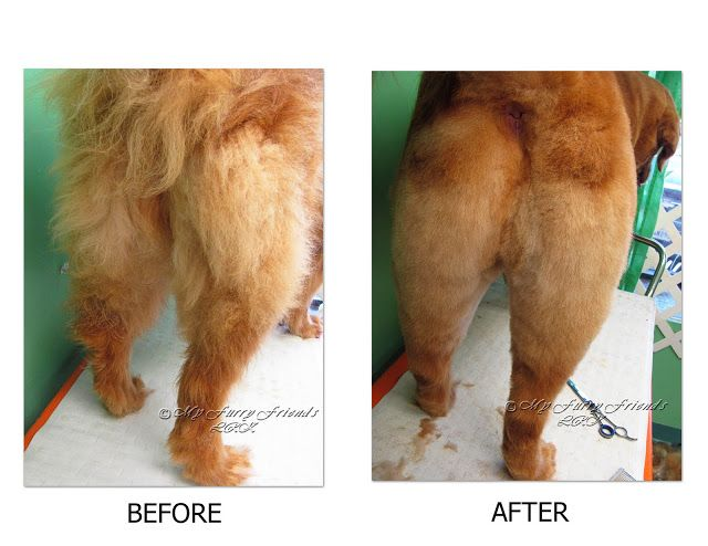 Pet Grooming: The Good, The Bad, & The Furry: Grooming a Golden Retriever Short but not Shaved