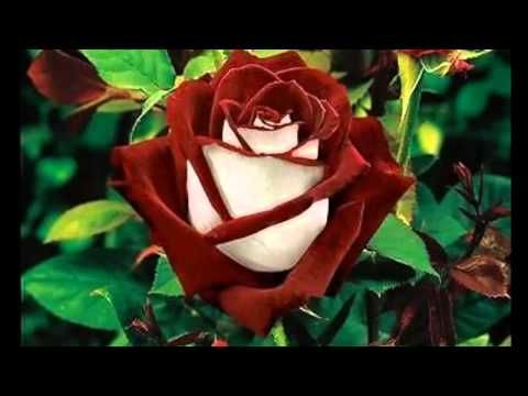 Cómo enraizar una rosa ya cortada con una papa y hacer que florezca, increíble! - YouTube