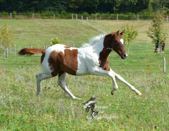 Pouliche Paint horse lignée reining et cutting...