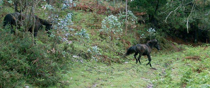 Asturcón (Equus caballus)