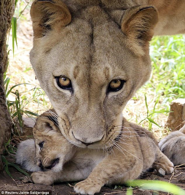 Lioness' triple trouble: Adorable cub triplets step out of den in Colombian zoo for first time since birth.  Photos: Reuters/Jaime Saldarriaga via Dailymail