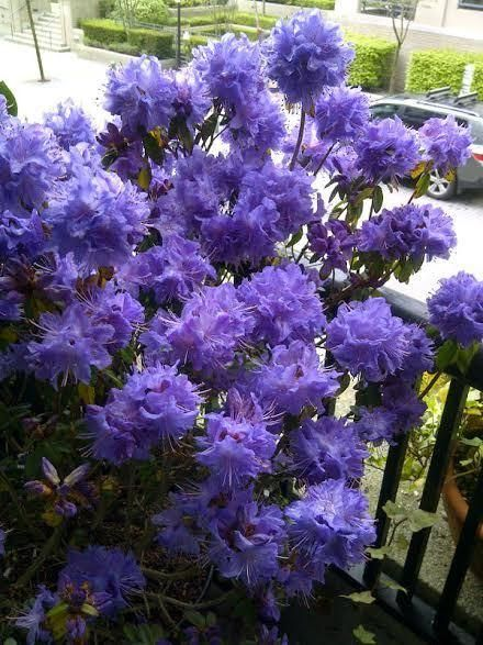 Rhododendrons: Plant Care and Collection of Varieties - Garden.org