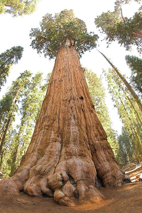 Sequoia National Park, California is known for its giant sequoia trees, including the General Sherman Tree, one of the largest in the world. It stands at 275 feet tall and is believed to be roughly 2,500 years old.