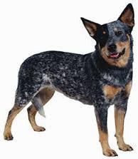 cuidados de perros pastor australiano - Buscar con Google
