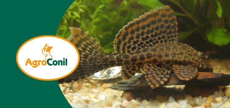 ¿Tienes acuario y no conoces los peces de fondo? Plecostomus, Plecostomus de Borneo, Chupaalgas, Corydoras... Pues te van a encantar... su funcion es limpiar de algas el fondo y el cristal de tu acuario.