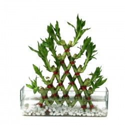 According to Feng-Shui, the Pyramid Bamboo is considered amongst one of the best options to be kept indoors for luck and prosperity.  http://thetradeboss.com/deals_detail.php?id=50