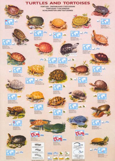 Turtles and Tortoises Types and Facts Animal Education Poster 26x37 – BananaRoad