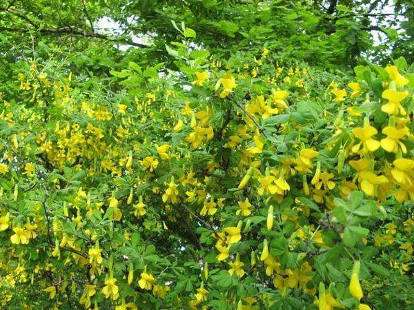 Быстрорастущие деревья и кустарники, увеличиваясь каждый сезон на десятки сантиметров и даже метры, довольно скоро создают на участке полноценный пейзаж.