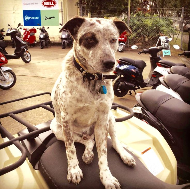 "We asked people to post photos of their pets on Vespas and tag us. Scott and Andrea from @ScooterStyleNoosa in Australia outdid themselves and introduced us to Chase The Wonder Dog, their adorable Australian Cattle Dog Cross, a ‪rescue dog‬ from the Australian Working Dog Rescue. Chase likes to pose for photos and his owners tell us he was ‪""chuffed‬"" to be featured! Here he is posing in their scooter shop in Noosa. Let us know if you would like to see more of #ChaseTheWonderDog!"