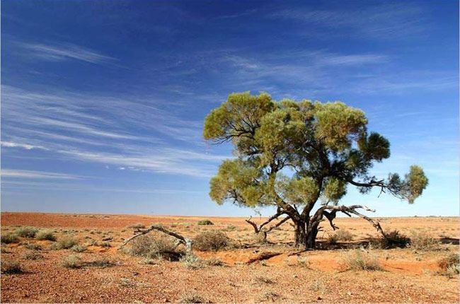 desert tree - Google Search