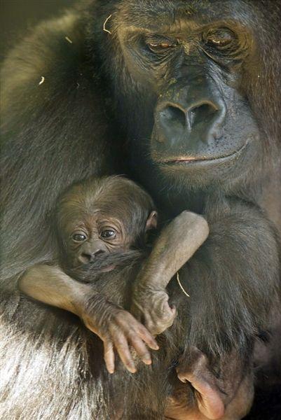 llbwwb:  Endangered baby gorilla born at Chicago's Lincoln Park Zoo, byTodd Rosenberg / Lincoln Park Zoo via AP