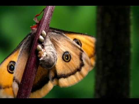 Flutter Serenade - time lapse life cycle of butterfly set to music (16 minutes long)