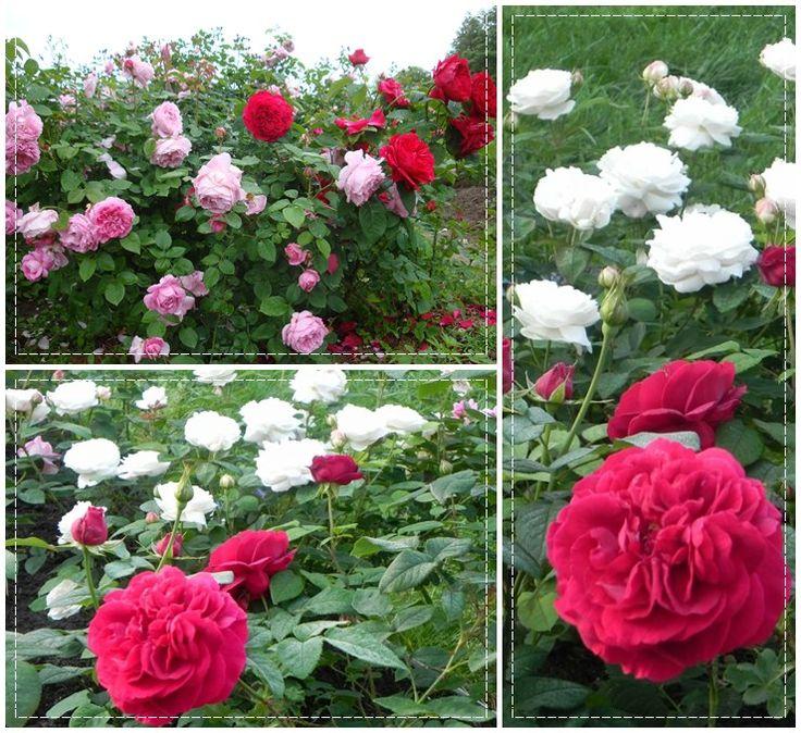 Auscrim róże angielskie