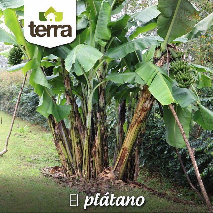 El #Plátano es una planta que a parte de dar un delicioso fruto, resulta muy hermosa y ornamental, una opción en la que puedes pensar a la hora de elegir que sembrar en tus jardines.