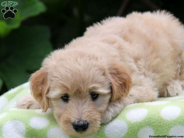 Mini Goldendoodles for Sale Hodgie, Mini Goldendoodle