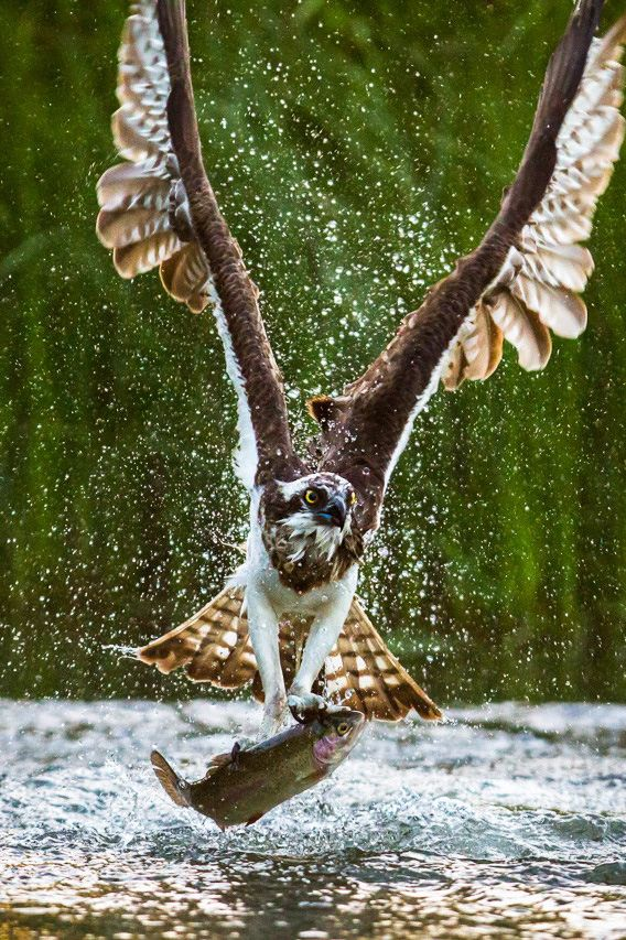 """An Osprey ~ With A Fish ~ """"Well Caught!""""  (Photo By: Jani Lepistö.)"""