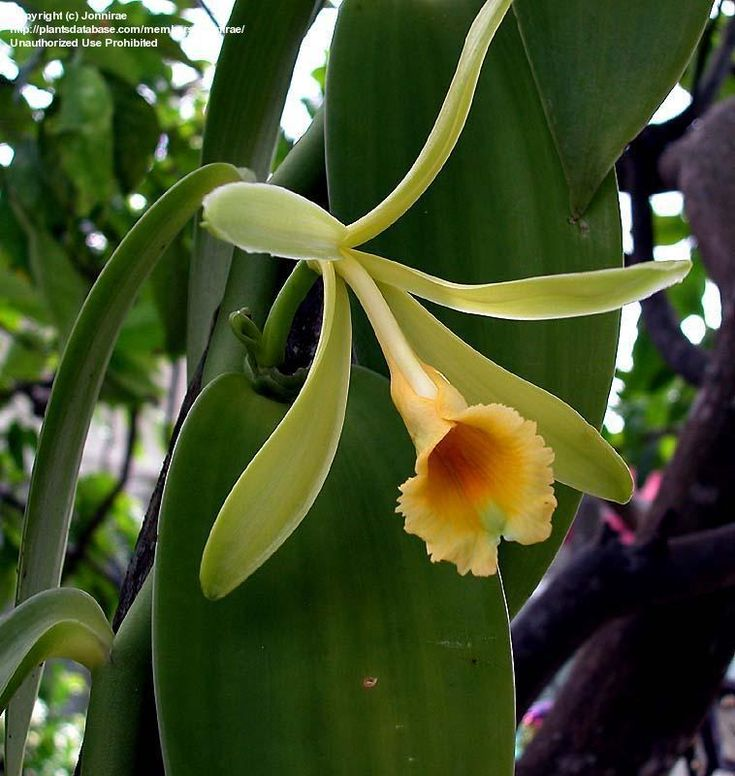Full size picture of Species Orchid, Vanilla Orchid, Commercial Vanilla, Flat Plane Leafed Vanilla (<i>Vanilla planifolia</i>)