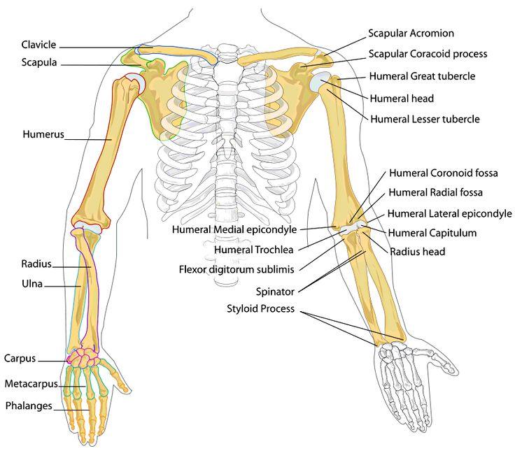 humerus and femur relationship