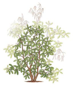 To shape a rhododendron, follow the branch down to the last whorl of leaves you want to keep and cut just above those leaves.