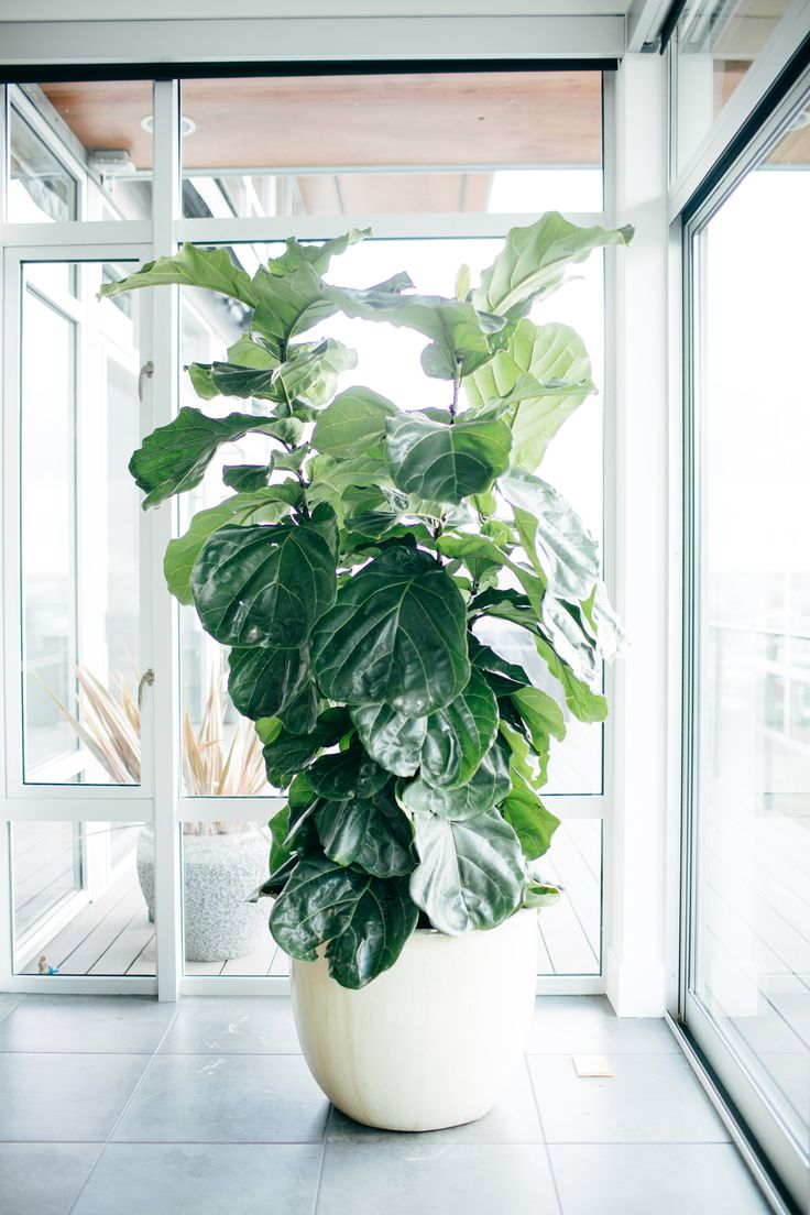 Fiddle Leaf Fig Tree Care | POPSUGAR Home