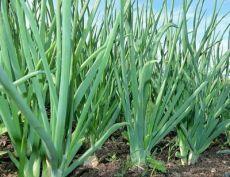 13 особенностей выращивания репчатого лука  1. При этом способе репку получают на второй год, а в первый год выращивают севок — мелкий однолетний лук. Лучшими сортами для выращивания таким способом являются острые сорта лука.  2. Чтобы вырастить севок, семена лука (чернушки) высевают в апреле после оттаивания почвы (сухими или пророщенными семенами) на грядах шириной 1 м, в бороздки, сделанные на расстоянии 10—12 см друг от друга. Показать полностью…