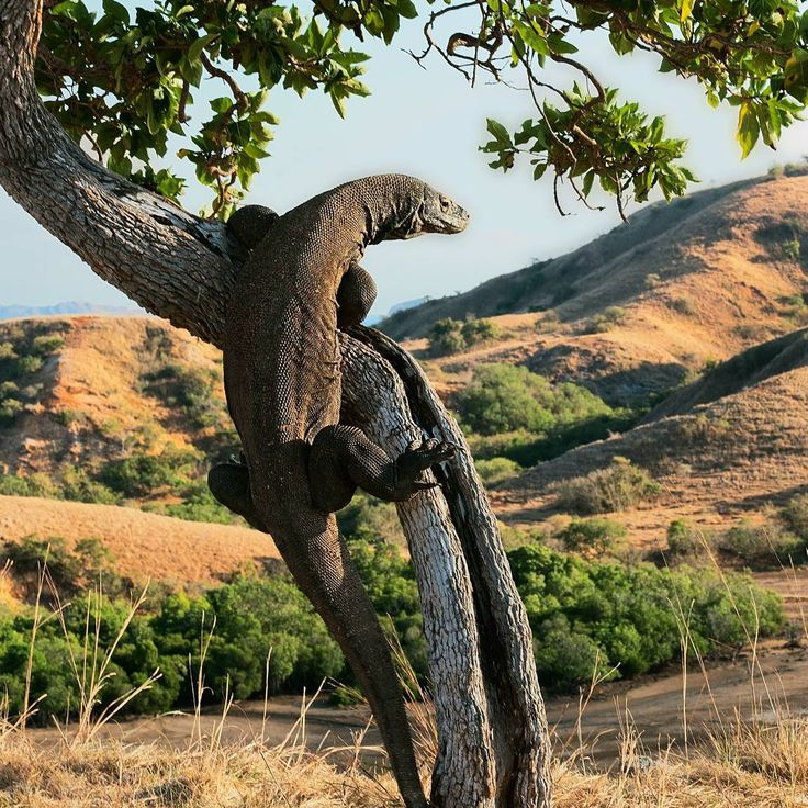 #KomodoIsland in Indonesia has been recognized as a national park since 1980, and you can explore its remote islands, pink beach, and the iconic Komodo Dragon. This lizard can grow up to 3m and weighting about 70kg. The island is also known for an amazing diving spots with its steep wall of corals and also an up-close with the sea life. Ready for an adventure? Contact us for packages to Komodo Island! #BeautifulDestinations #LifeWellTravelled