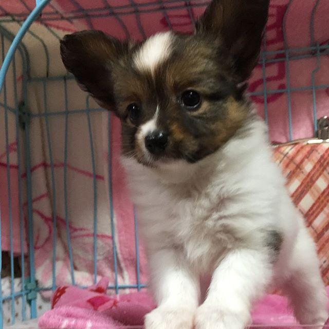Taramu Amore's  ミスティの仔犬 とってもチャーミングな女の子 2017/3/18産まれ  ご覧になりたい方はWebサイトからどうぞ  http://www.taramu-amores.com/  #taramuamores #pappy #papillon #papillondog #papillonistagram #instapapillon #dog #dogs #doglove #doglover #lovely #instadog #cute #doglife #dogstagram #doglover  #lovely #partner #papillonsofinstagram #elegant #Sweden #england #thepappilon #タラムアモーレス #パピヨンと暮らす #愛犬 #わんこ #パピヨン #子犬 #ブリーダー