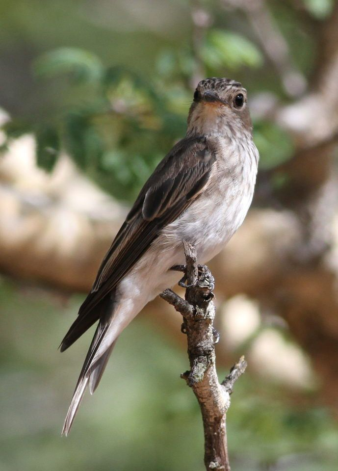 Spotted flycatcher, Muscicapa striata, Limpopo, South Africa