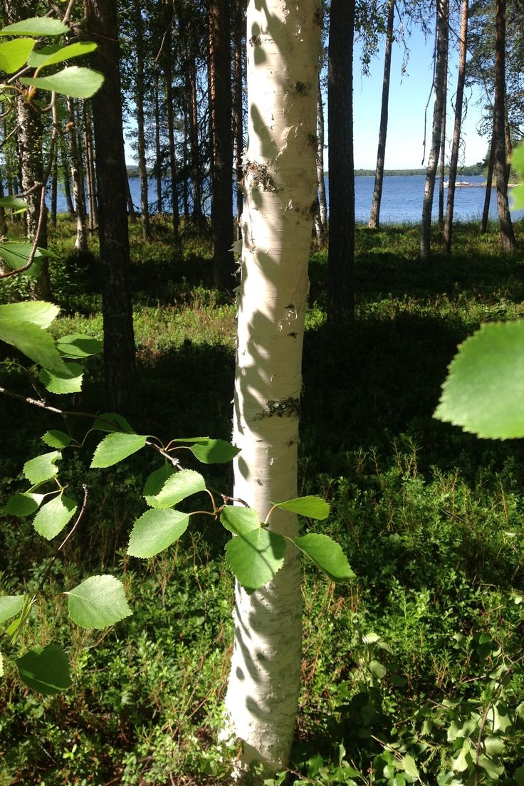 A birch and a lake