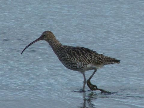 The curlew: beak almighty! | Peter Orchard