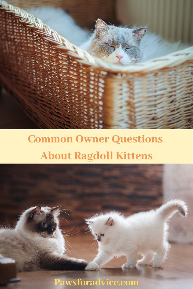 Common Owner Questions About Ragdoll Kittens Ragdoll Kitten Kitten Names Cat Facts