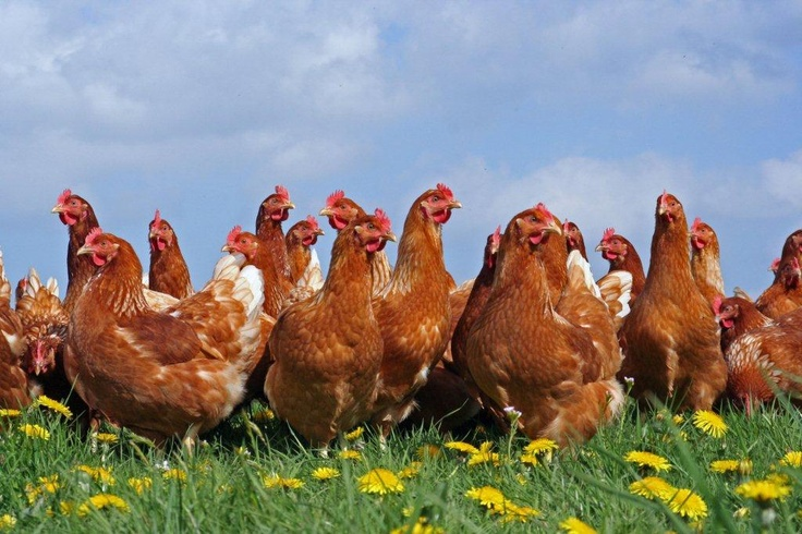 Some ex caged hens enjoyed their freedom!
