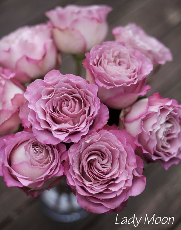 Lady Moon Rose, an antique rosy, pink Rose by http://www.harvestwholesale.com