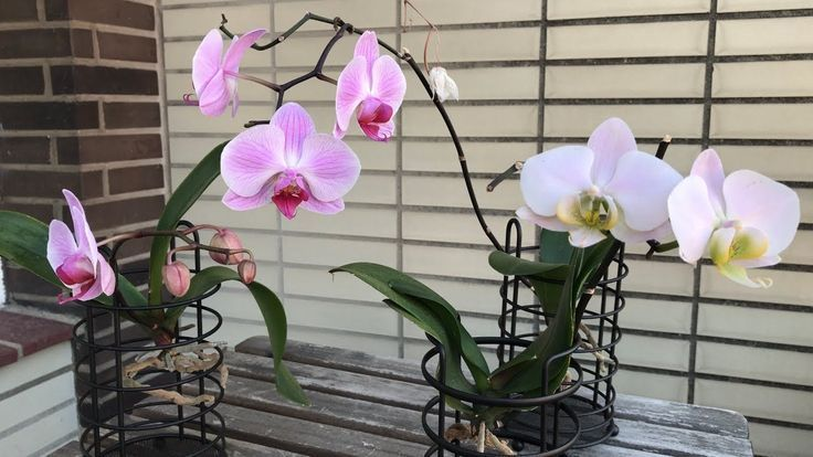 ea13e0a847c8fe1bea9b7fb16fd3397f - How To Get An Orchid To Bloom A Second Time