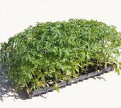 Wholesale Tomato Plants