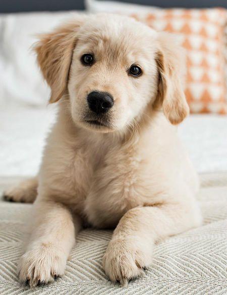 Rosie the Golden Retriever puppy #GRD #goldenretriever Via the Daily Puppy