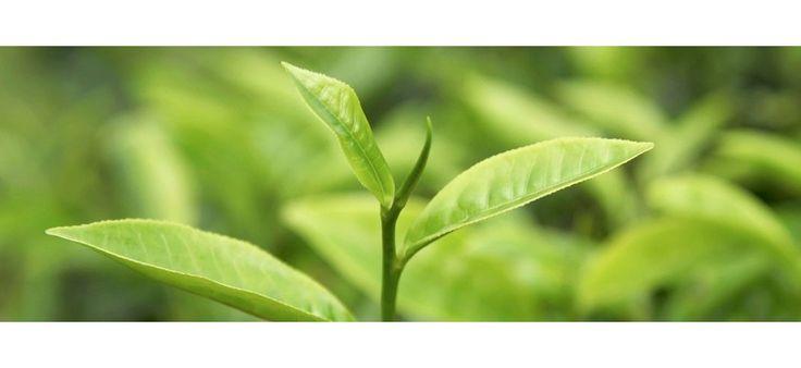 #Tea #Tree, #Árbol de #té, #Manuka. El tea tree o árbol de té, llamado también manuka, proviene de Australia. Con las hojas aplastadas y mezcladas con barro caliente trataban infecciones y enfermedades cutáneas. En 1770 en uno de sus viajes, el capitán James Cook descubrió esta planta... | TeQuierobio.com