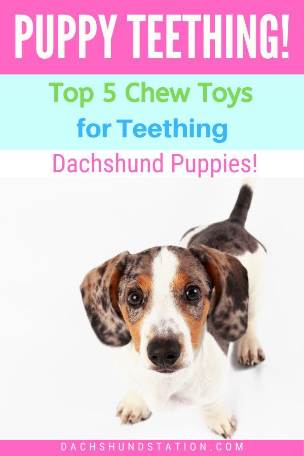 Full Easy Guide How To Survive Dachshund Puppy Teething In 2020 With Images Puppy Teething Dachshund Puppies Dachshund