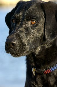 Holy Crap i needed this a year ago!!! How to Train a Black Lab Dog