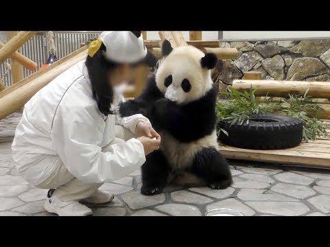 【忙しそう♪】結浜シングルライフに慣れてきた!【子パンダ】Giant Panda -Yuihin-☆playing by herself - YouTube