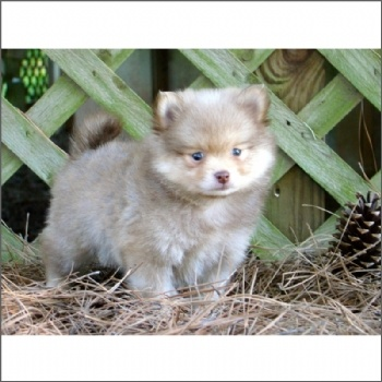 Pomeranian Puppy For Sale #dog #pet #puppy #pomeranian #forsale #sale