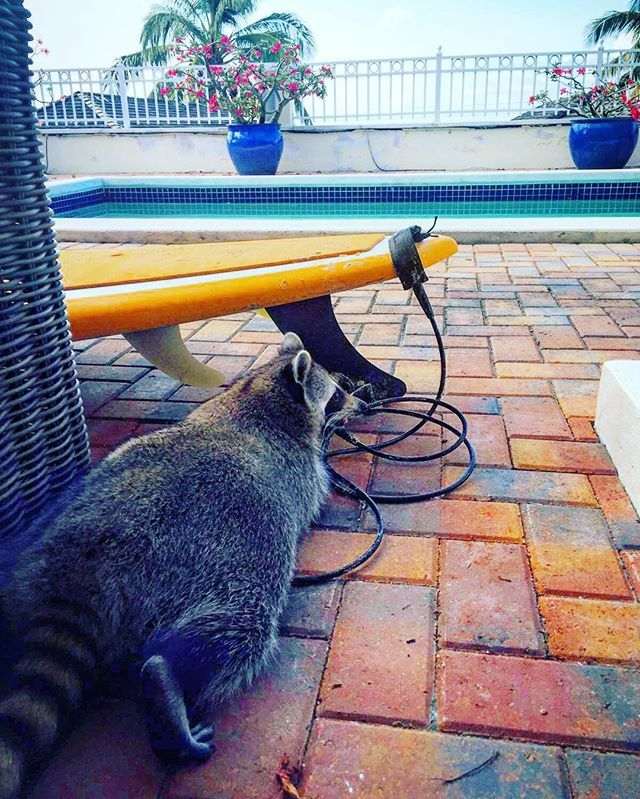 Totally amped to carve some gnarly swells bro....or something. 🎃❤️🏄🏻 #pumpkintheraccoon #raccoon #love #pet #instagood #instalike #instagram #surf #bahamas #weeklyfluff