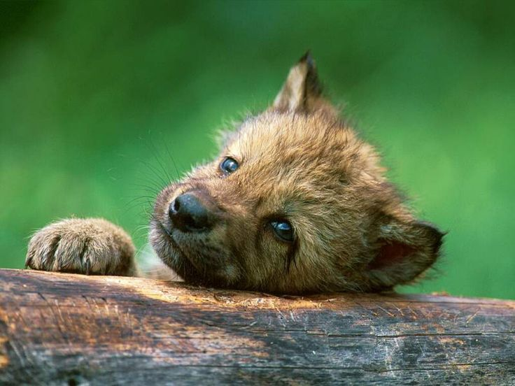 狼の赤ちゃん