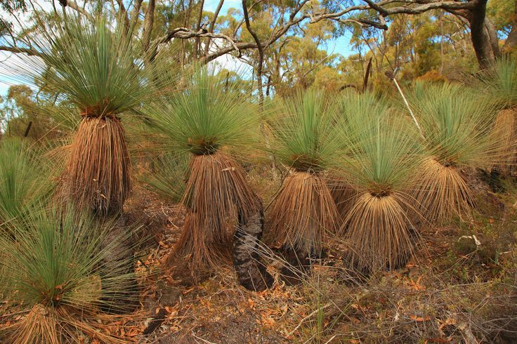 Grass trees (Xanthorrhoea quadrangulata). These beauties are near the summit of Mount Remarkable, South Australia.