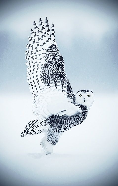 Snow owl visit http://www.reservationresources.com/