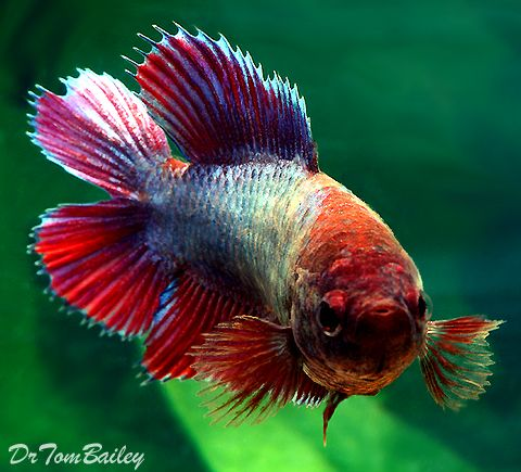 141 best images about betta fish on pinterest copper for Female betta fish pictures