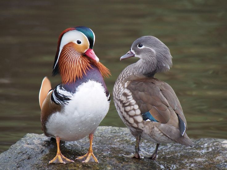 Mandarin Pair. The Mandarin duck (Aix galericulata), or just Mandarin, is a…