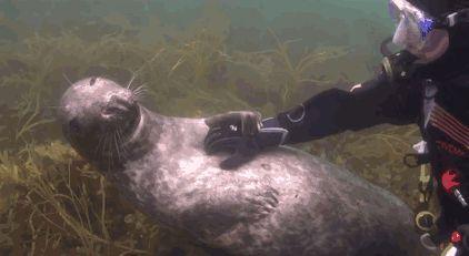 foca pede carinho a Mergulhador profissional